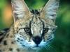 wildlife_serval